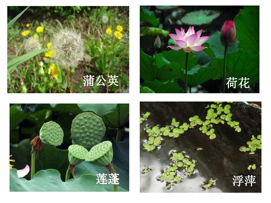 2.观察一棵植物PPT课件和教学内容分析的第4张ppt图片预览